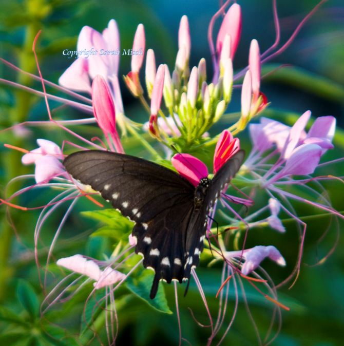 Black Swallowtail watermark