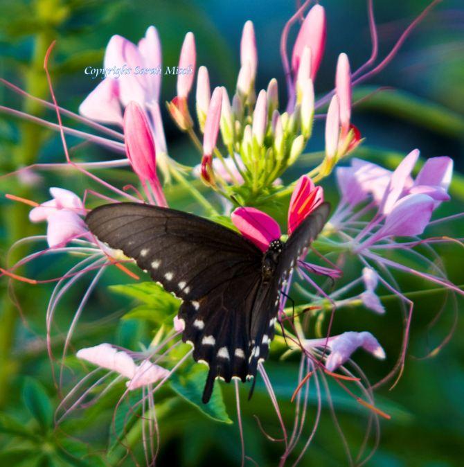 Black Swallowtail watermark