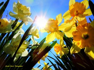 Daffodils and Sun Marked