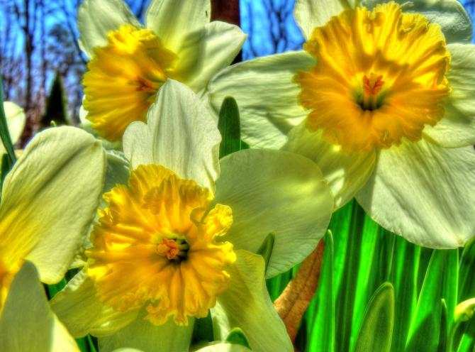 Daffodils HDR