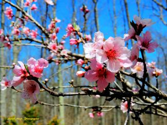 Peach blossoms marked