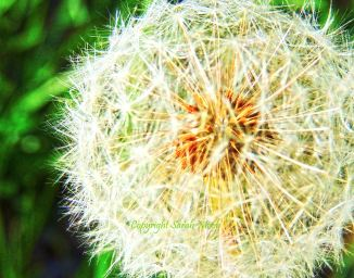 Dandelion 2a marked